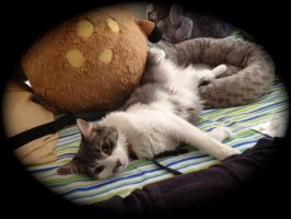 My Lazy Cat: Liger by Nsomniotic