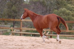 ASH - canter chestnut w roan by Chunga-Stock