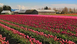 Tulip Festival #14 by KRHPhotography