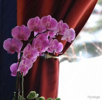 Une Orchidee a ma fenetre by hyneige