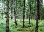 coniferous forest by xParaflaX