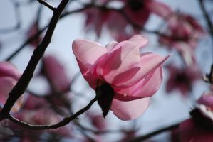 Magnolia by Shae-photography