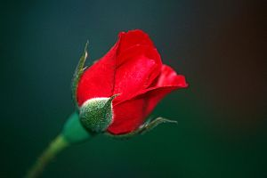Red Rose Bud Side View by EJordanPhoto