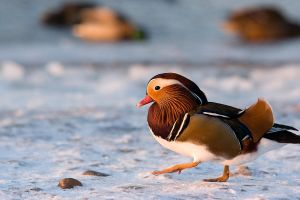 Mandarin Duck by CRuS23