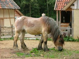 an old belgian draft horse by Amethyst--Dragon