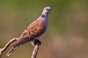 Turtle dove by BogdanBoev