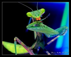 PrayMantis by lasfe2g