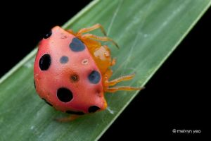 Ladybird Spider (Paraplectana sp.) by melvynyeo