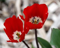 Red and White Tulips II by azieser