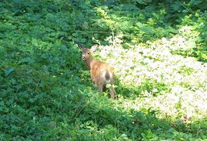 A Fawn by WickedWitchWoman