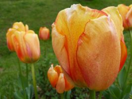 Orange Tulip (7th Istanbul Tulip Festival) by Aquamarin-Graphics