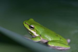 Green Tree frog by DivineInvention