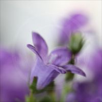 Bluebell_4 by Zoralysell