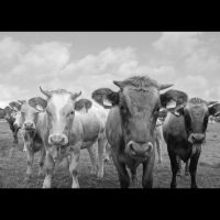 Cow Gang by mARTinimal