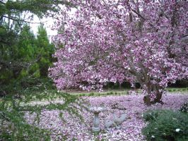 Japanese Magnolia 2 by Wolf-Daughter