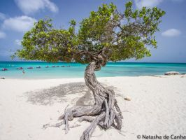 Divi Divi Tree by Tasha0228x