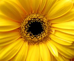 flower in the color of the sun by cscruff