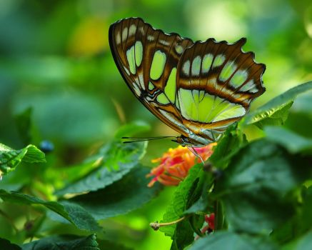 Malachite Butterfly Resubd by swashbuckler