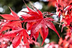 Red leaf by EaGle1337