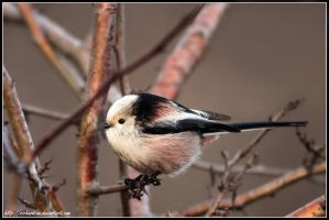 Long Tailed Tit by RichardConstantinoff