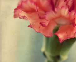 What in Carnation? 2 by TeresaHowes