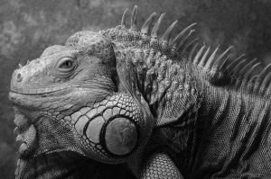 Adult Male Iguana Black n White by laughlady99