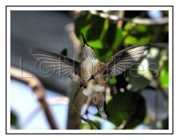 Hummingbird's Wings by lehPhotography