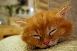 Ginger Kitten by jimbywater