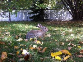 Bunny in our yard by MaguschildCloud