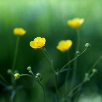 Meadow buttercup by dsfotods