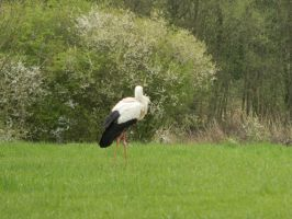 stork by tegalus