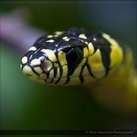 Mexican Tiger Rat Snake 1059j by Haywood-Photography