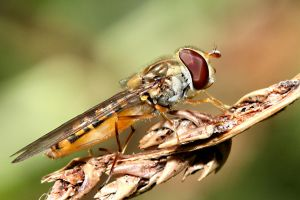 Hoverfly 01 by s-kmp