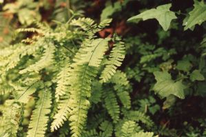 Ferns by Sonic840