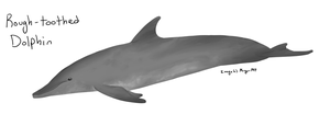 Rough-toothed Dolphin by Morgan-Michele