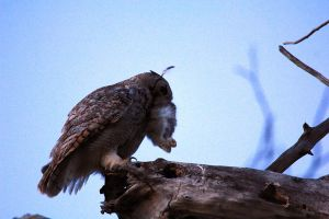 Great Horned Owl dinner 2 by sgt-slaughter