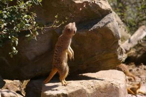 Meerkats VII by expression-stock