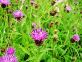 thistle by Reginald-Tribianni