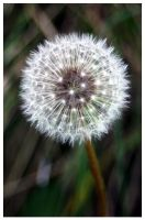 Taraxacum officinale. by Jhny-heat