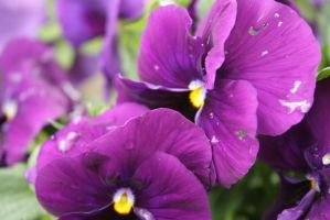 Pansies After the Rain by FrankieAlton