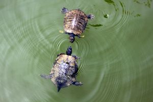 Turtles by corjran