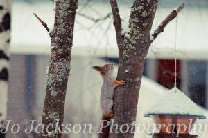 Squirrel in the snow by Britwitch-1981
