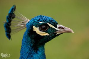 peacock by LisaFPhotography