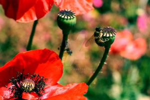 Red Poppy and Honey Bee by Trezizi