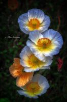 Adomment poppy. by Phototubby