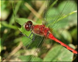 White-faced Meadowhawk by Anachronist84