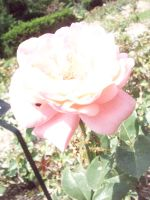 Yet, another pink rose. by KristineAdelia