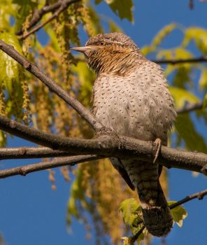 Jynx Torquilla -Wryneck by missfortune11