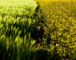 Green vs Yellow by IHEA