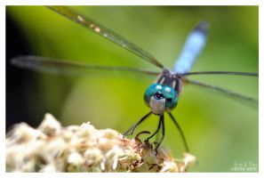 Blue Dragonfly II by eccoarts